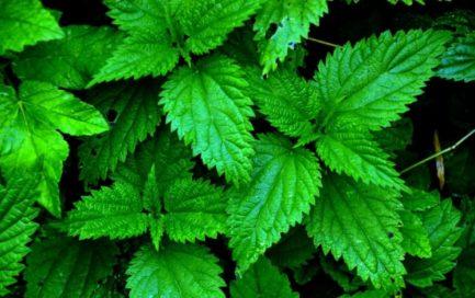 Крапива полезные свойства. Медицинские травы
